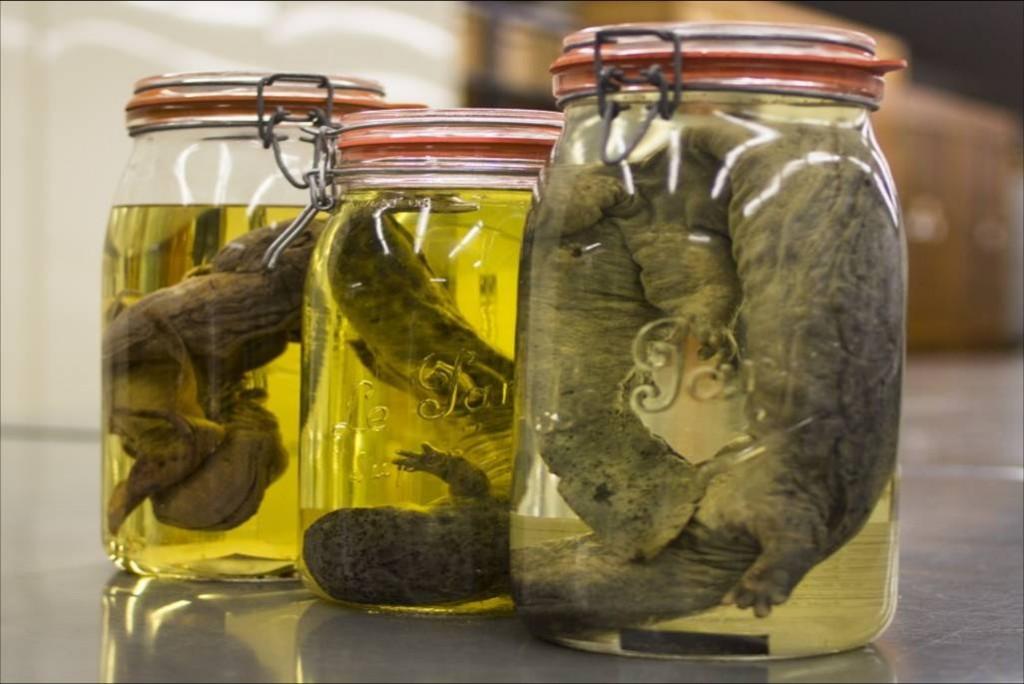 hellbender specimens - close-up