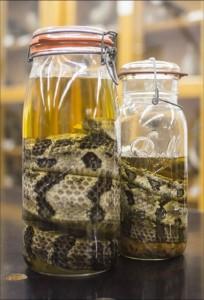 timber rattlesnake specimens in jar