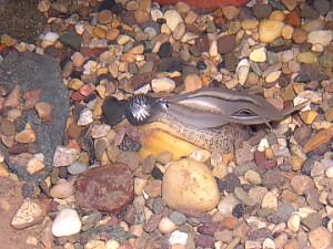 Gravid female mussel