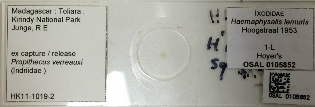 slide of larval Haemaphysalis lemuris