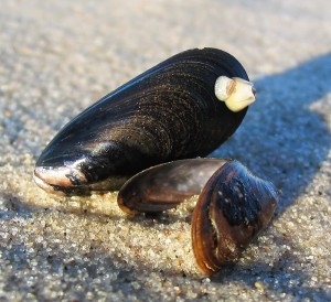 Saltwater mussels on a beach