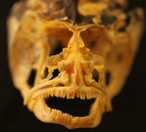 skull of OSUM104702 Neogobius melanostomus Round Goby