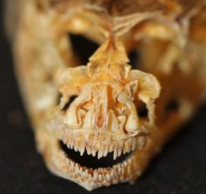 OSUM 104701, Neogobius melanostomus skull