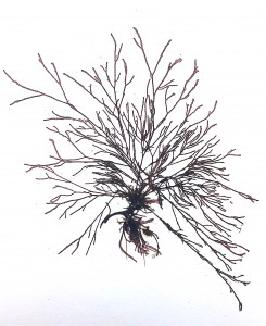 A finely branched red alga.