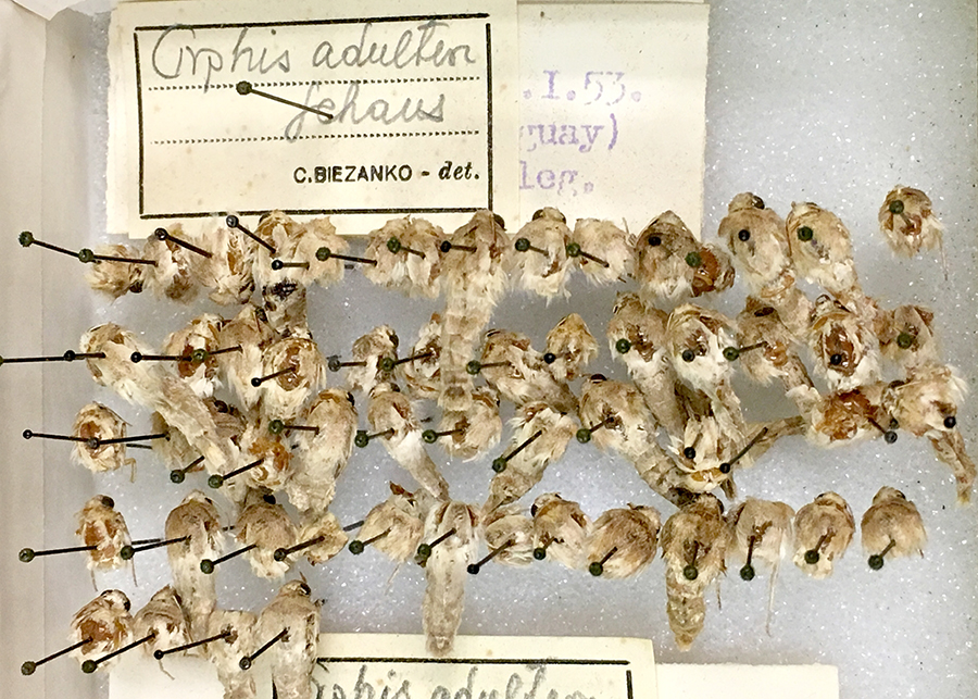 Many moth vouchers sharing one big label. During curation labels will be added to each specimen.