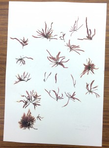 collection sheet of red alga, Devaleraea ramentacea