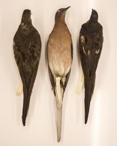 Passenger Pigeon profiles