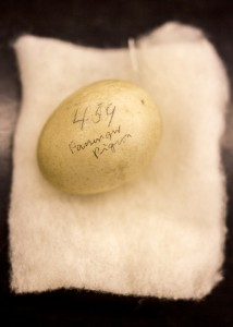 Cream colored passenger pigeon egg
