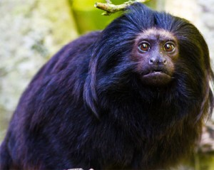photo of black-lion tamarin (Wikipedia; CC BY-SA 4.0)
