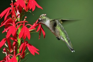hummingbird sticking bill into red flower