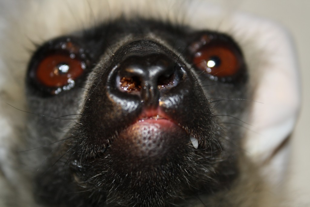 Haemaphysalis lemuris males in nose Propithecus diadema (photo Lydia Green)