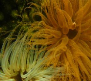 corkscrew sea anemone Bartholomea annulata