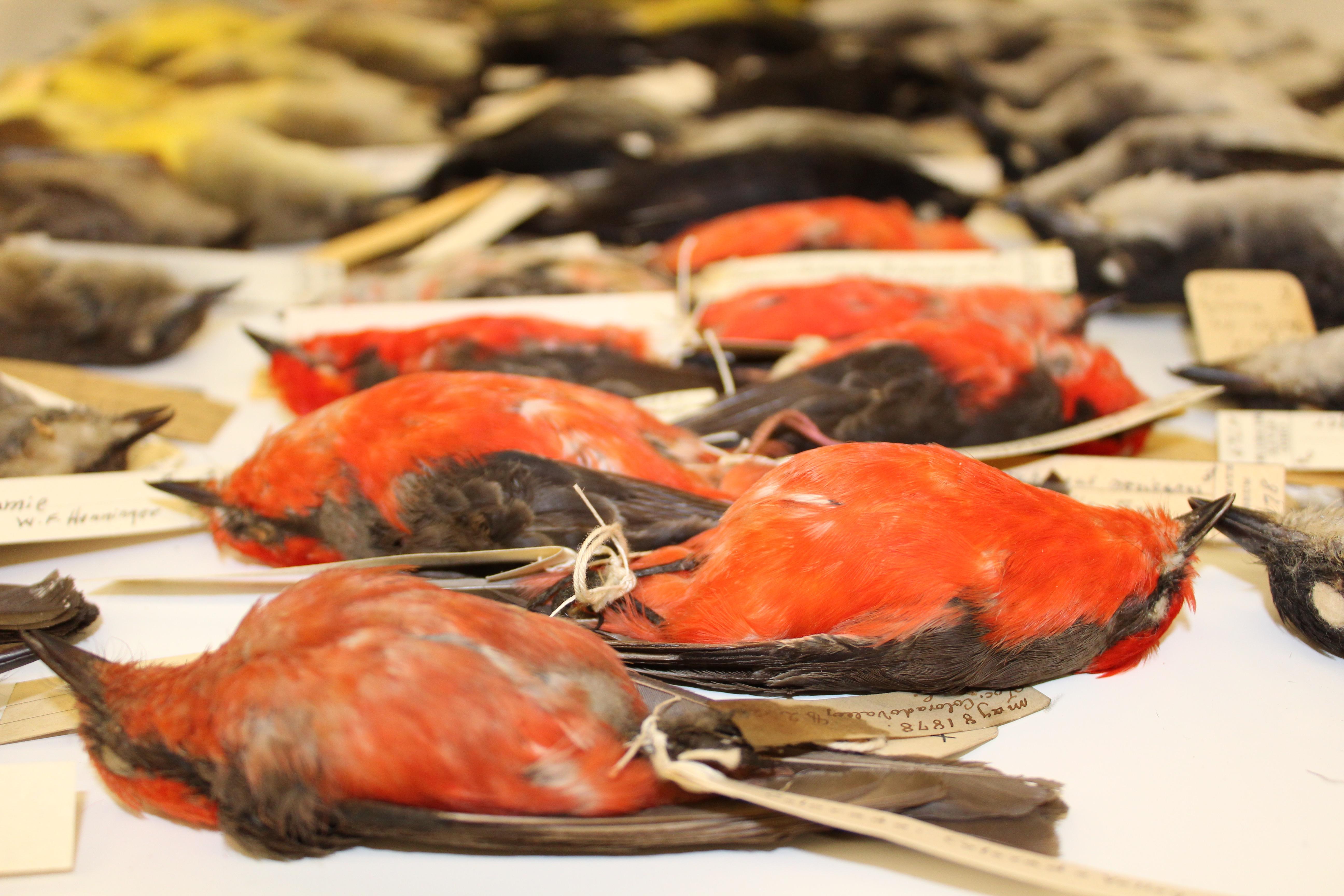Vermilion Flycatcher specimen