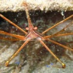 yellowline arrow crab Stenorhynchus seticornis