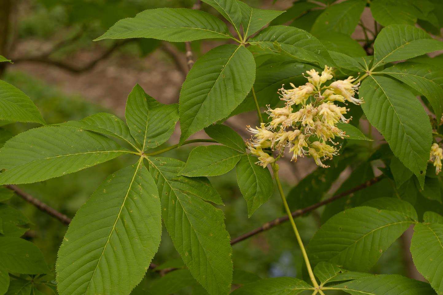 Flower and leaves of the Ohio Buckeye