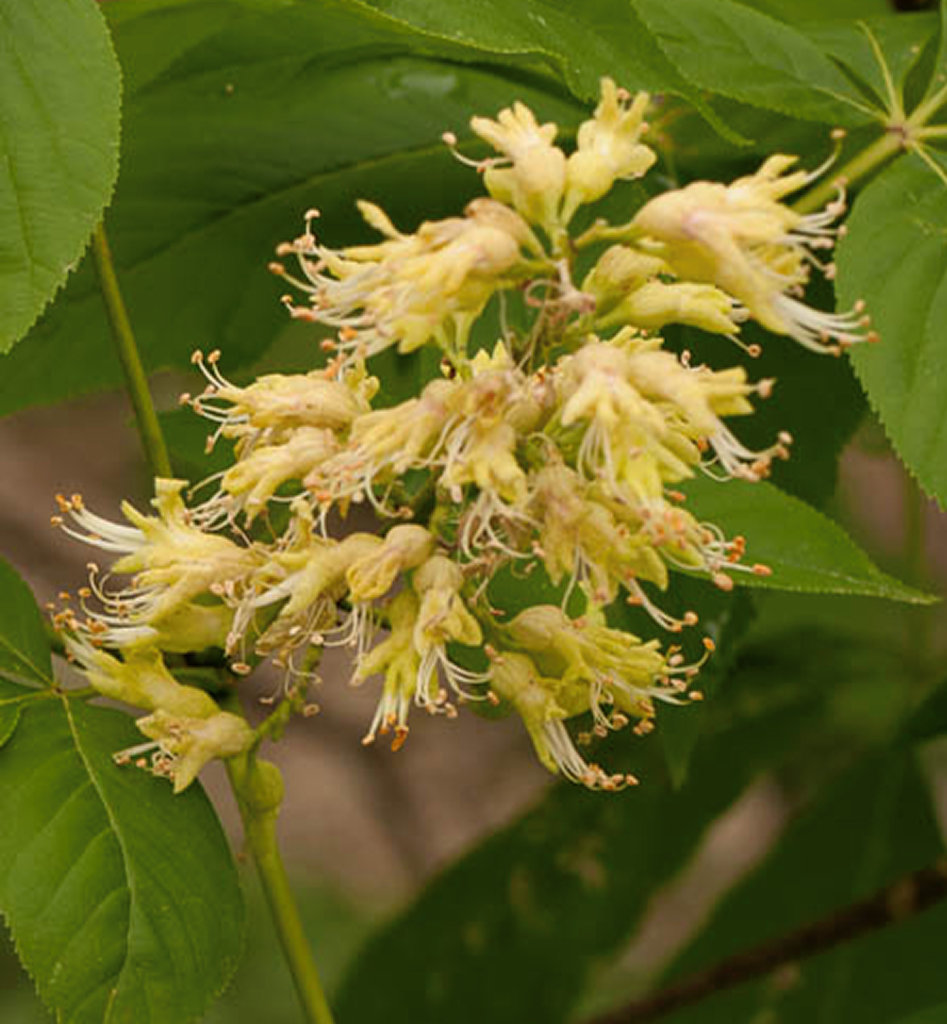 flower of Ohio Buckeye close-up