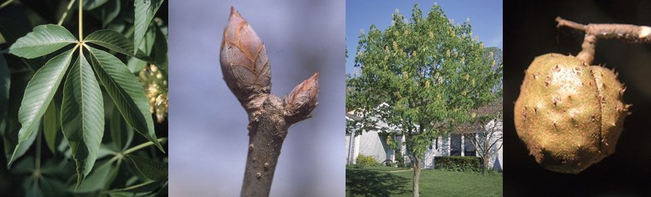Ohio Buckeye leaf, bud, tree and fruit