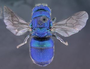 Ceratochrysis perpulchra, OSUC 96424