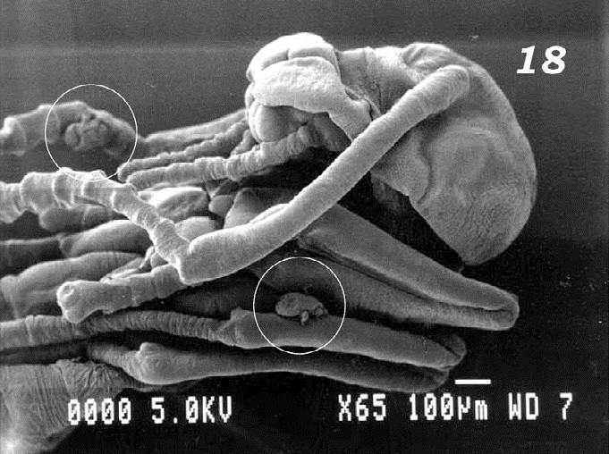 rvae of M. sellnicki (circled) attached to appendages of P. fulva pupa.