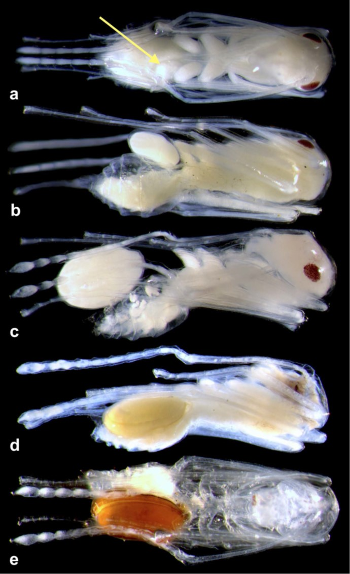 Macrodinychus multispinosus developmental stages