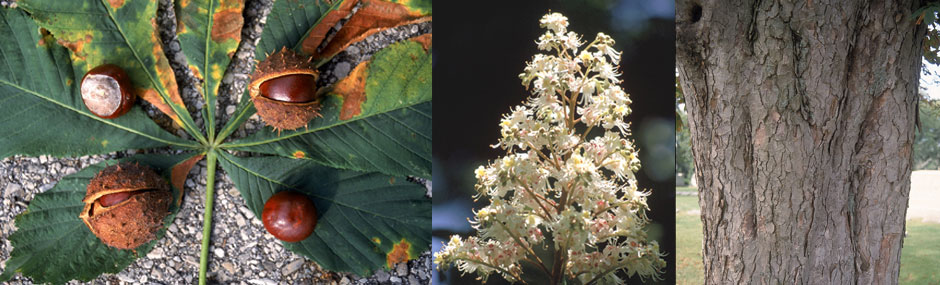 Horse Chestnut fruits, flower and bark