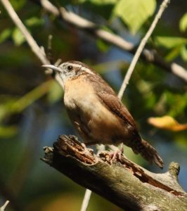 Carolina Wren, photo by Rich Bradley