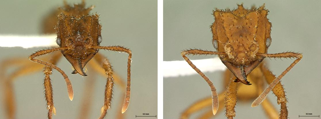 comparison of Trachymyrmex new species and T. zeteki