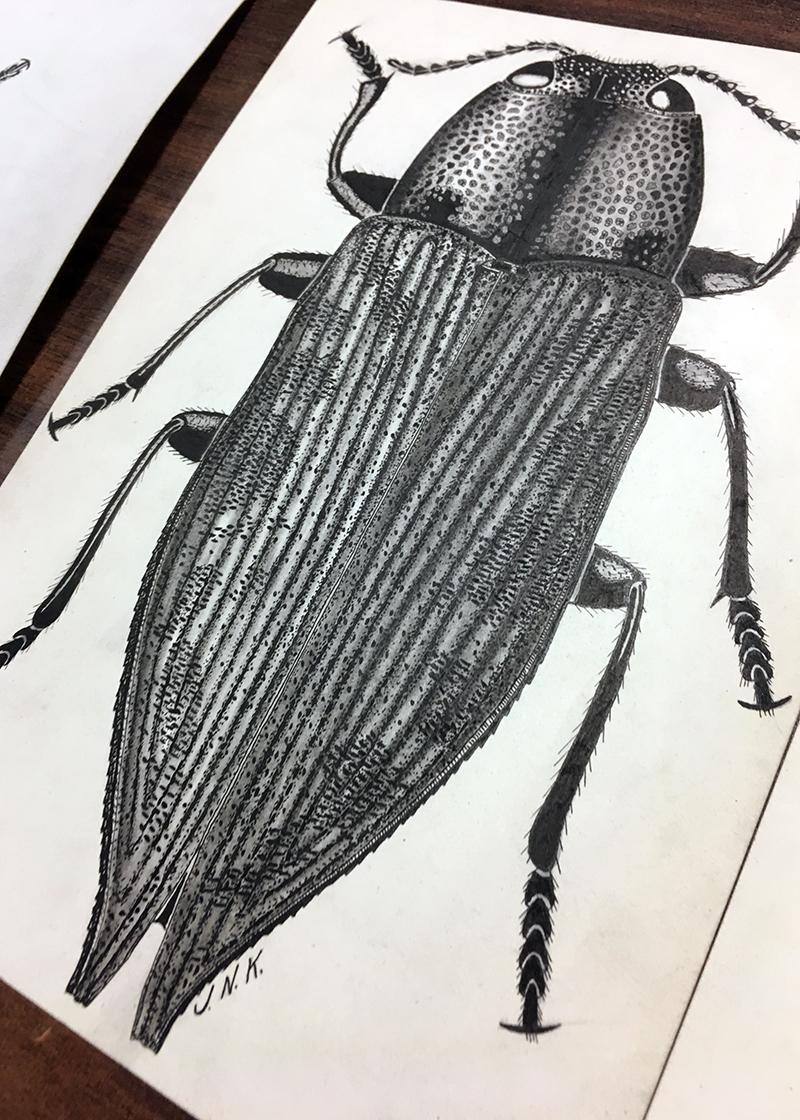 Eastern Poplar buprestid, Poecilonota cyanipes,(Say), illustrated by Knull.