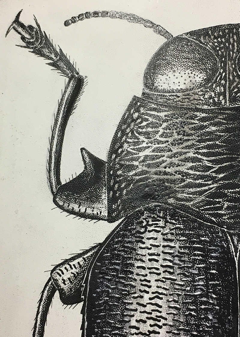 Actenodes acornis (Say), detail of illustration produced by Josef Knull.