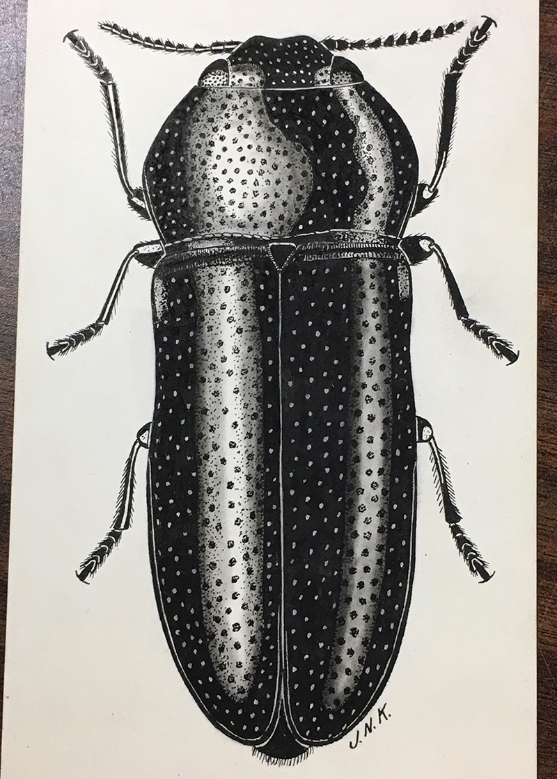 Intricate drawing of beetle on Ross board.