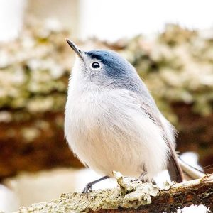Blue-gray Gnatcatcher. Photo by Christopher Collins, 2017