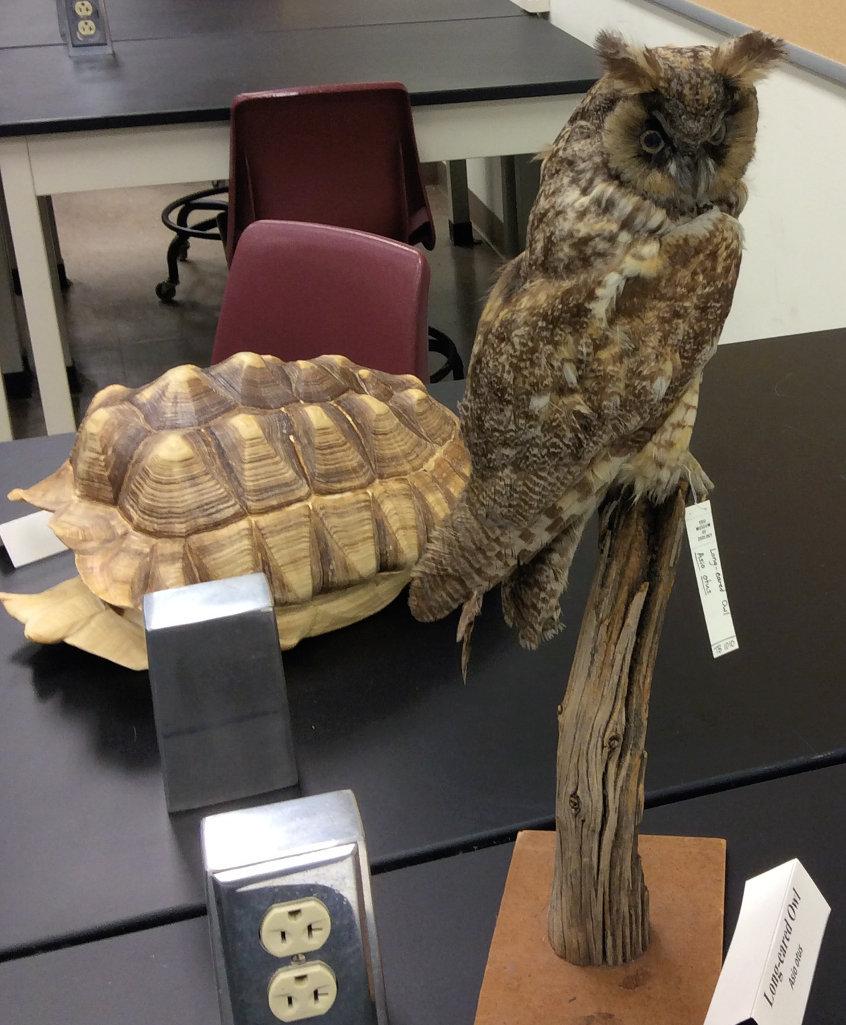 mounted specimen of Long-eared Owl