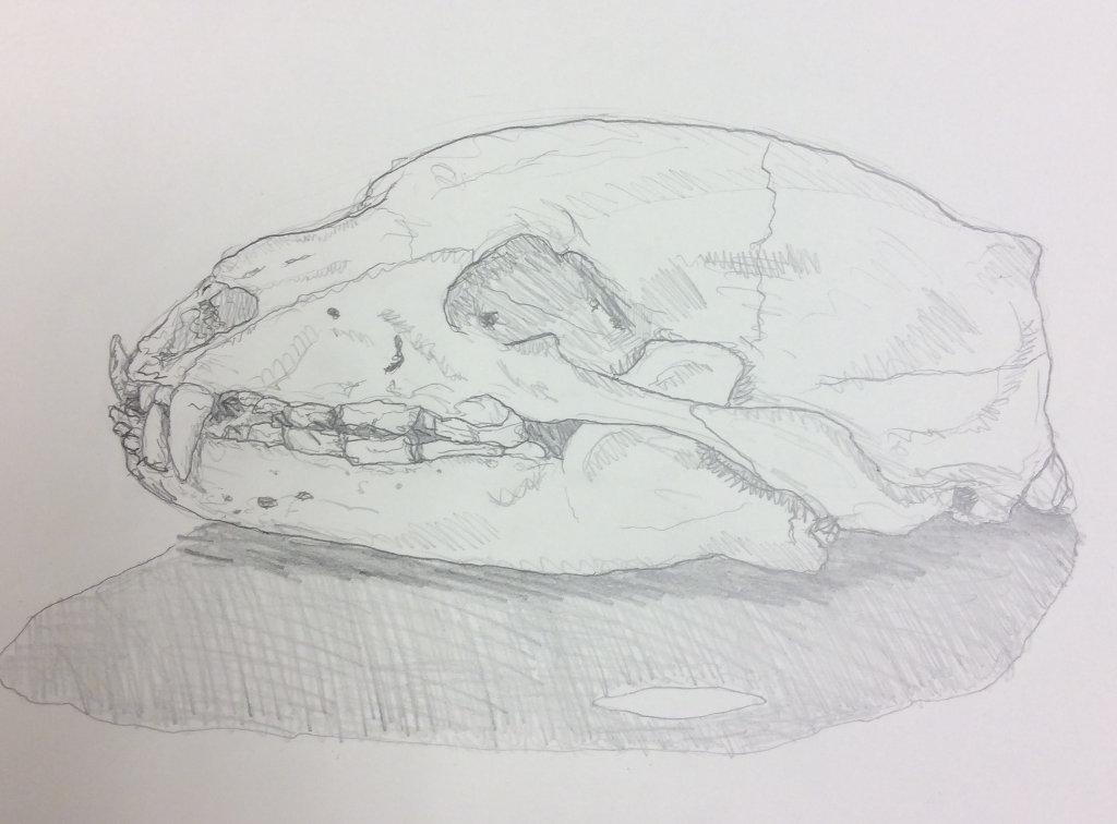 Drawing of the black bear skull
