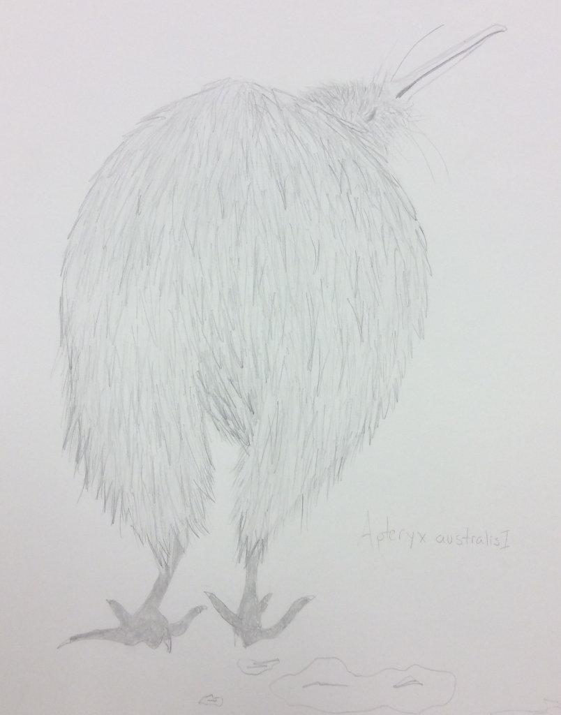 drawing of a Kiwi