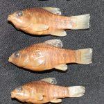 OSUM 43174 Jordanella floridae 5 of 52