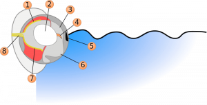Scheme of the eyes of a four-eyed fish showing the basic functions