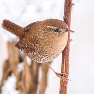 Winter Wren. Photo by Christopher Collins, 2016
