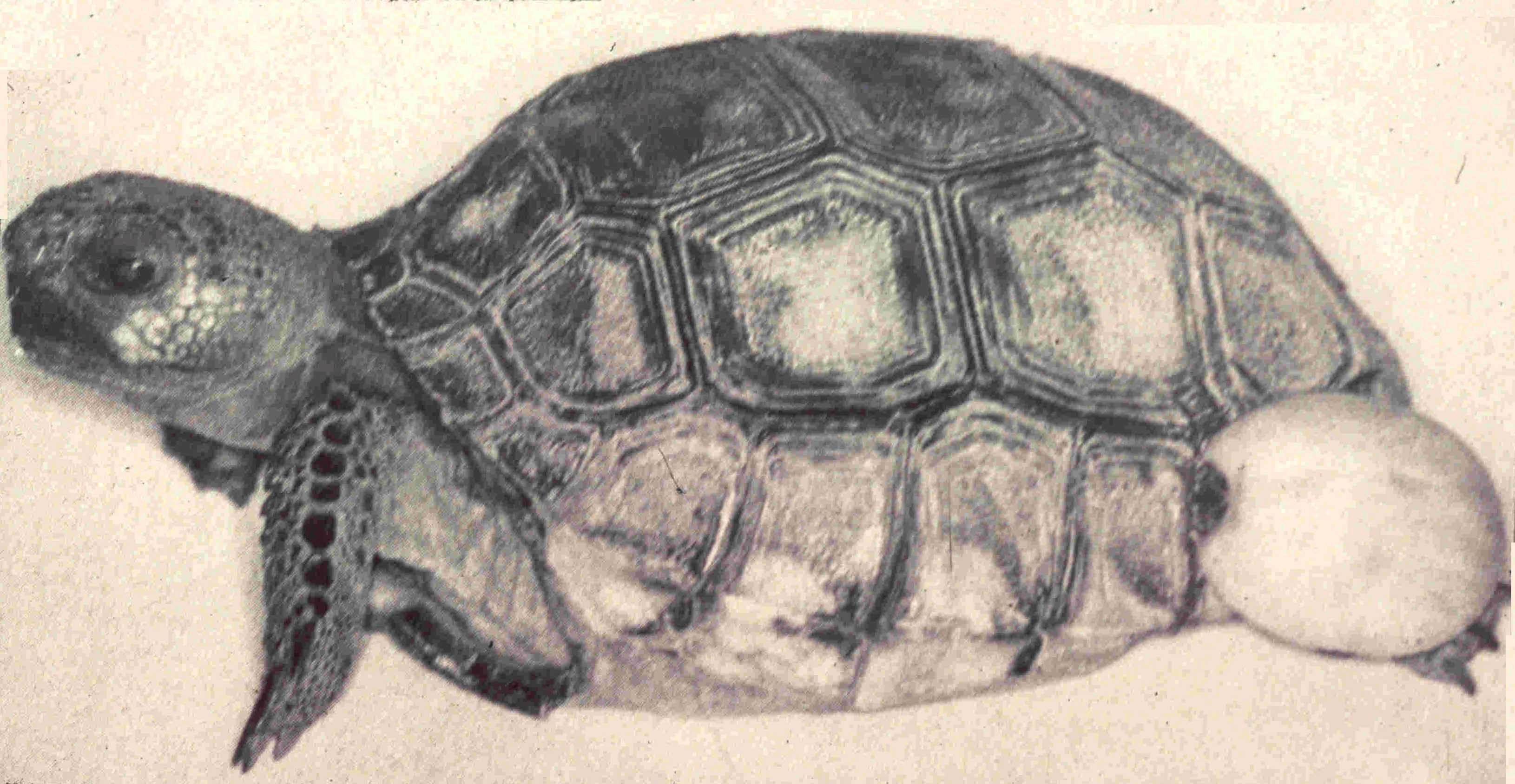 gopher tortoise with tick