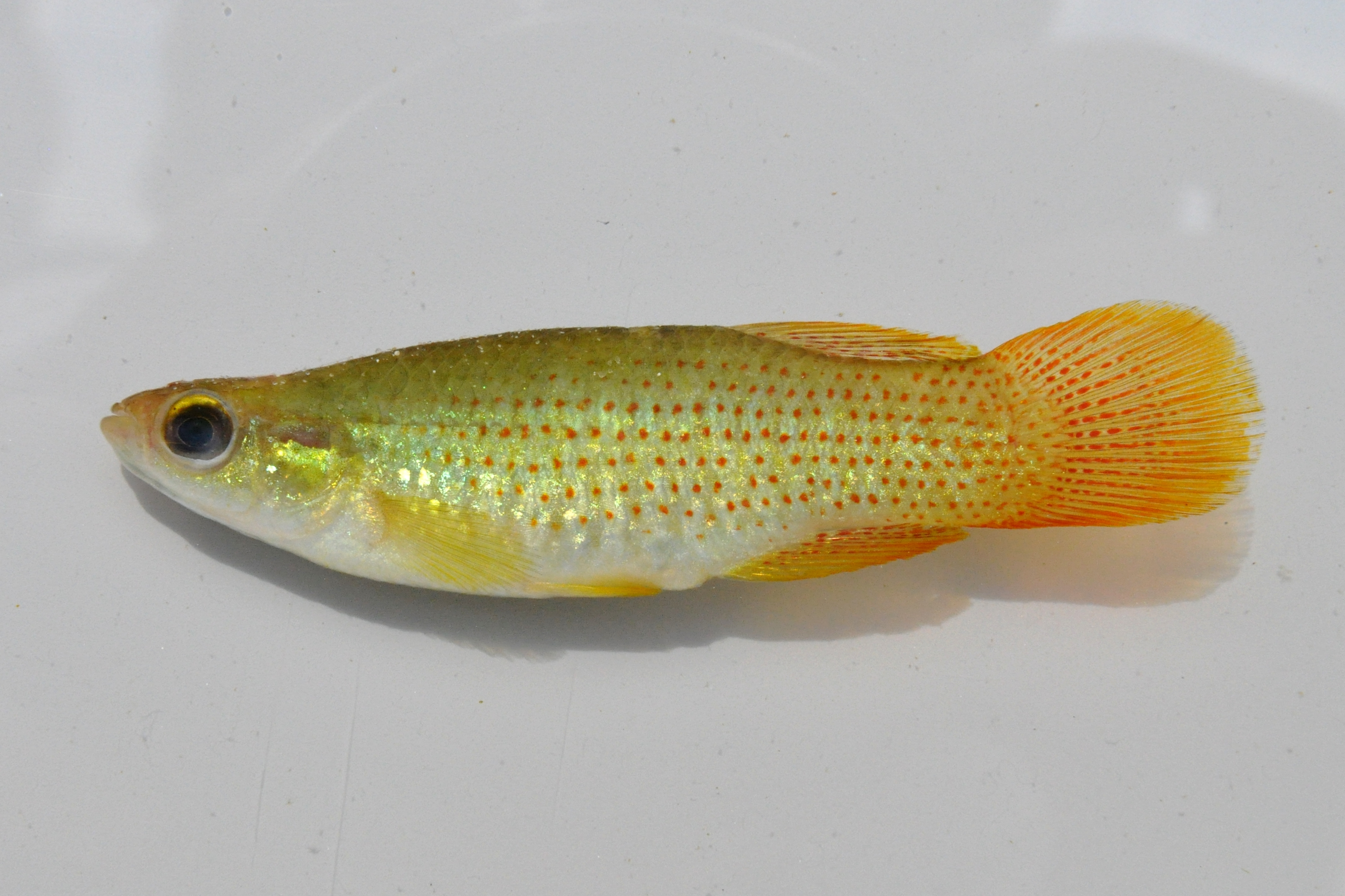 male golden topminnow from Ocala national forest FL 4OCT09 by BZ