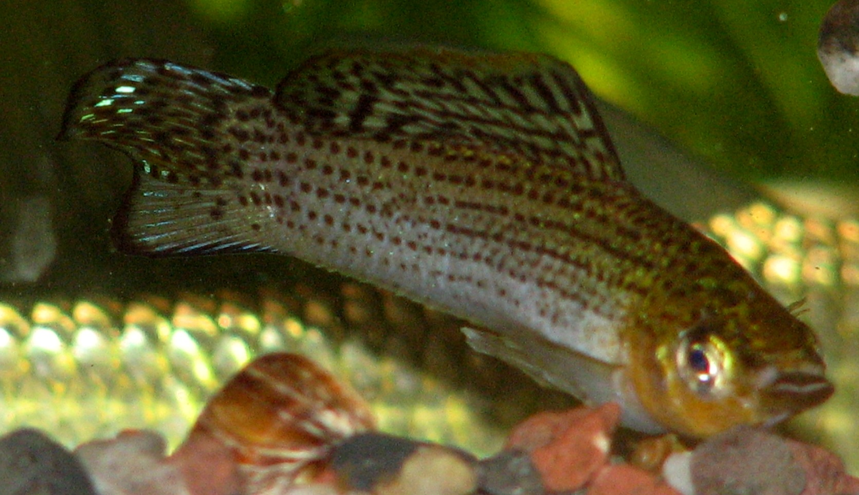Male Sailfin Molly, photo by Brian Zimmerman