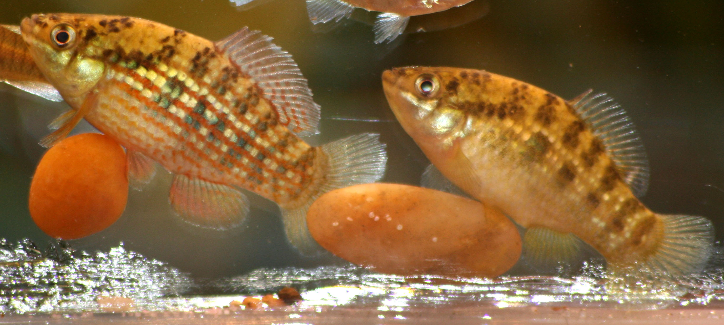 Pair of male Flagfishes, photo by Brian Zimmerman