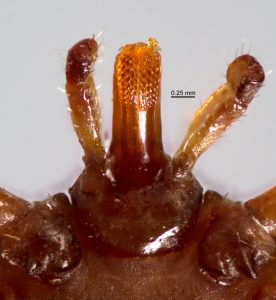 close-up of mouth parts of Amblyomma extraoculatum, U.S. National Tick Collection (USNMENT00956315)