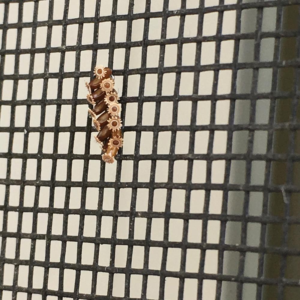 Assassin bug egg mass in my screen door
