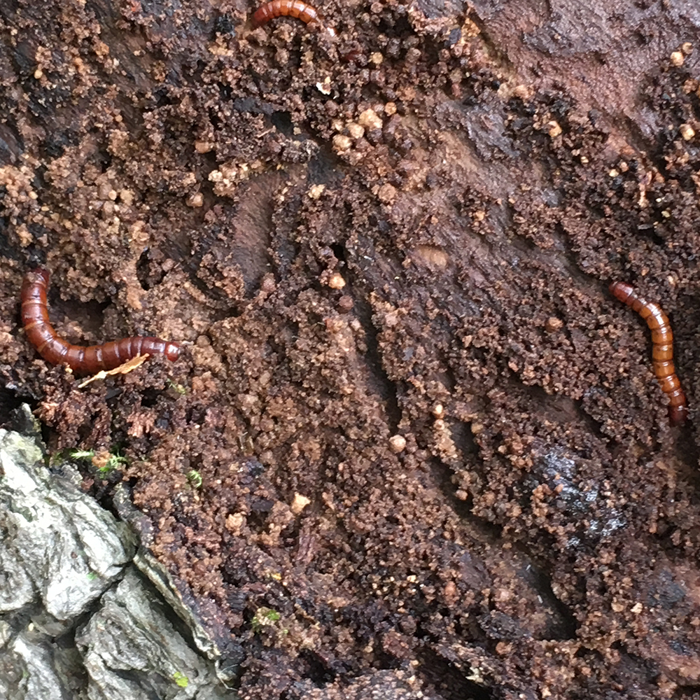 Multiple beetle larvae found under the bark of a rotting log.