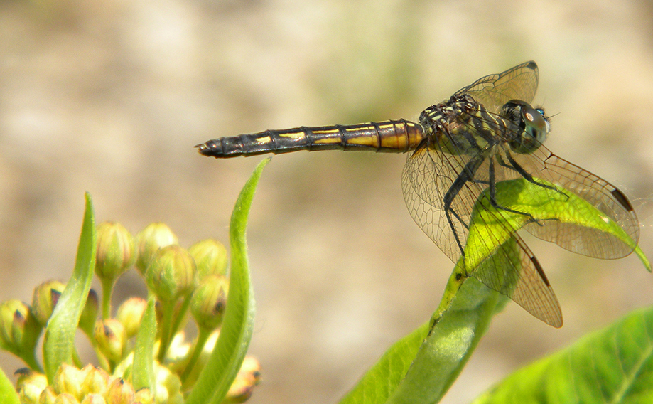 Dragonfly at Magee Marsh Wildlife Area.