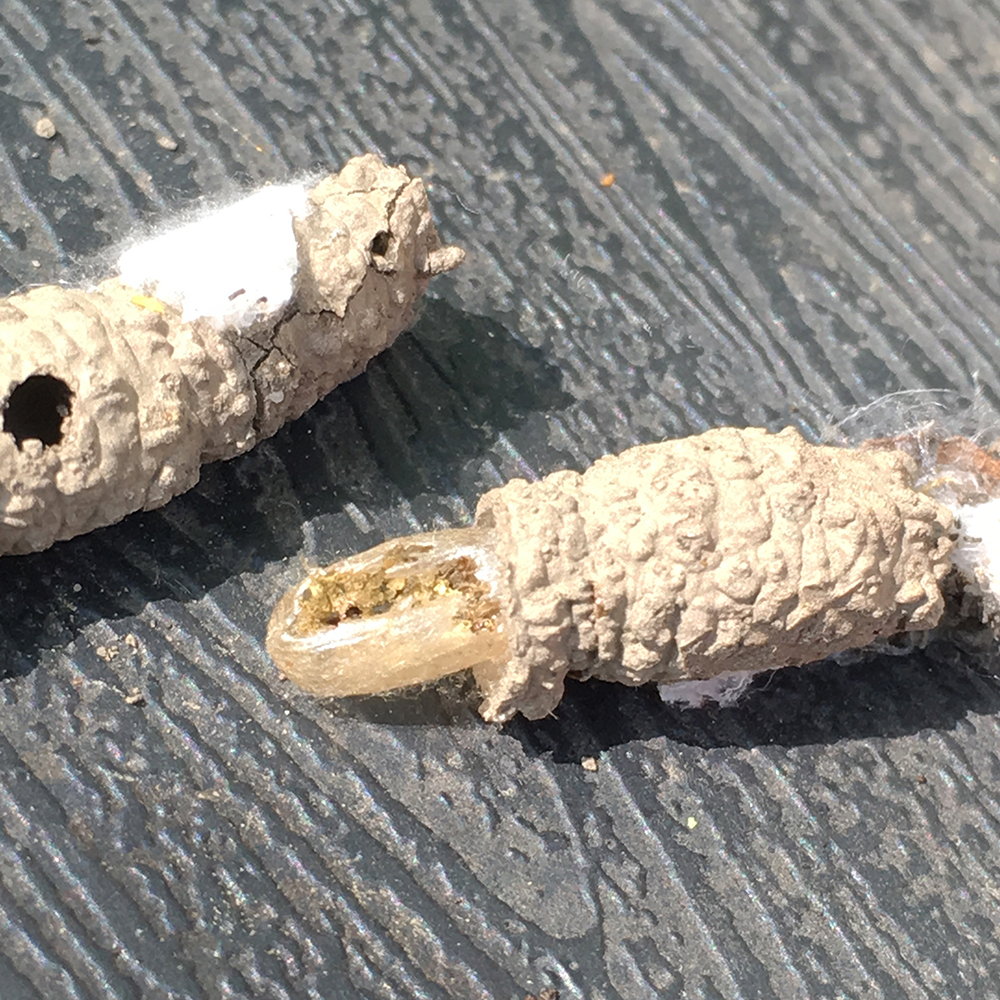 Solitary wasp nest with empty cocoon
