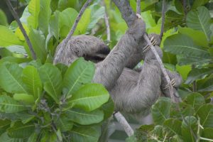adult sloth in tree