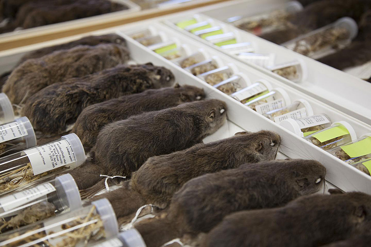 Flying squirrel specimens from the Burke Museum's collection were used to help identify the new species, Humboldt's flying squirrel. Credit: Burke Museum of Natural History & Culture