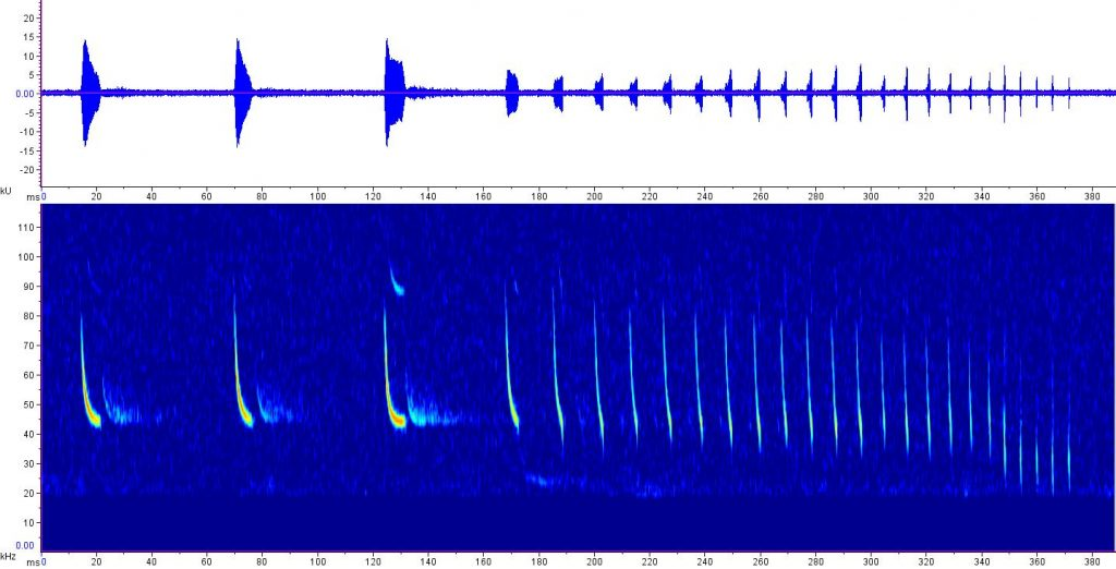 sonogram of feeding calls of little brown bat