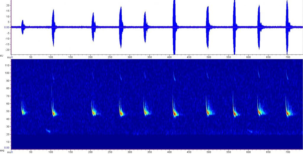 sonogram of little brown bat Myotis lucifugus calls